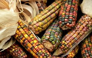 Photograph of Multi-colored Indian Corn